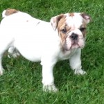 Mellow (Gracies pup)